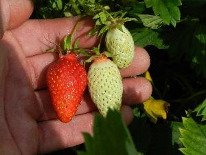 vrouw tussen de aardbeien